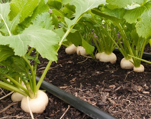 _Turnips growing