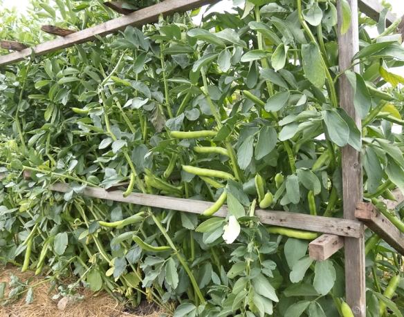Fava beans growing jpg