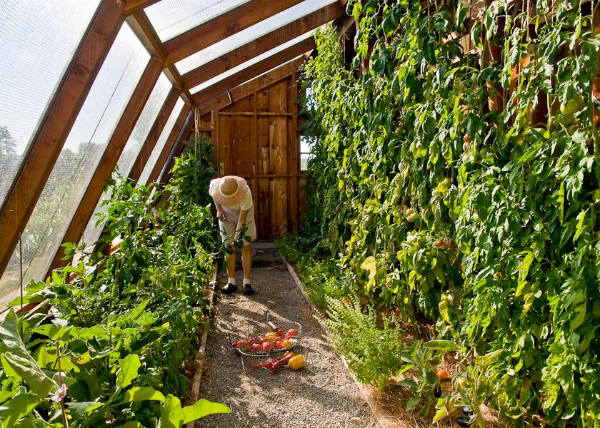 Cherokee Purple Lopez Island Kitchen Gardens