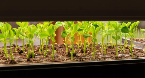 Seedroom peas growing
