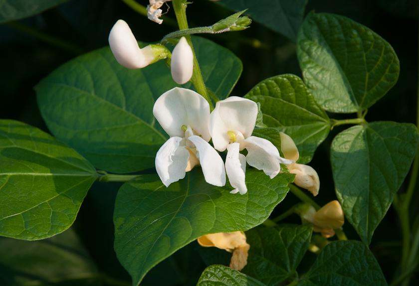 Bean Blossoms Lopez Island Kitchen Gardens