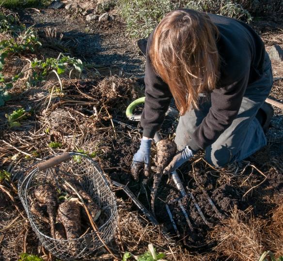 Parsnips digging