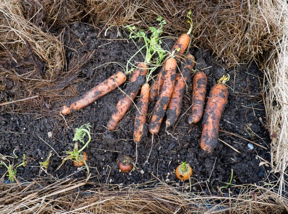 Carrots in mulch