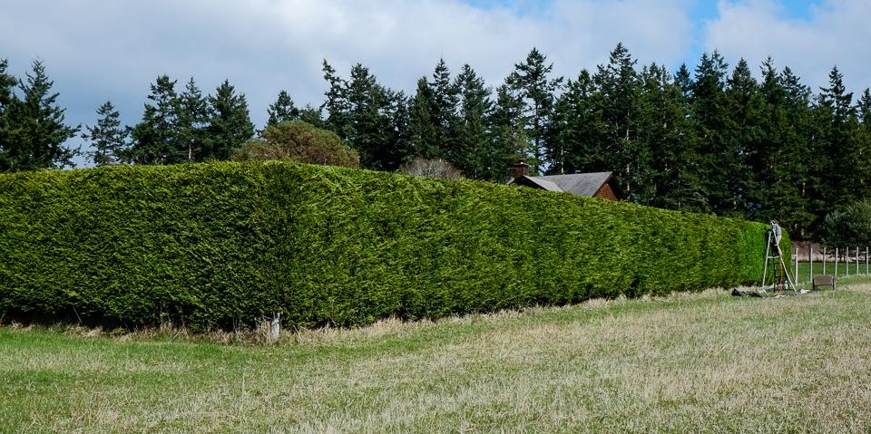 Leyland Cypress Hedge Lopez Island Kitchen Gardens
