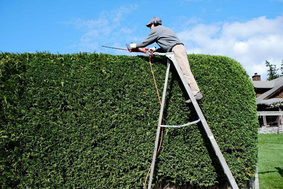 Trimming Leyland Cypress Hedge Lopez Island Kitchen Gardens