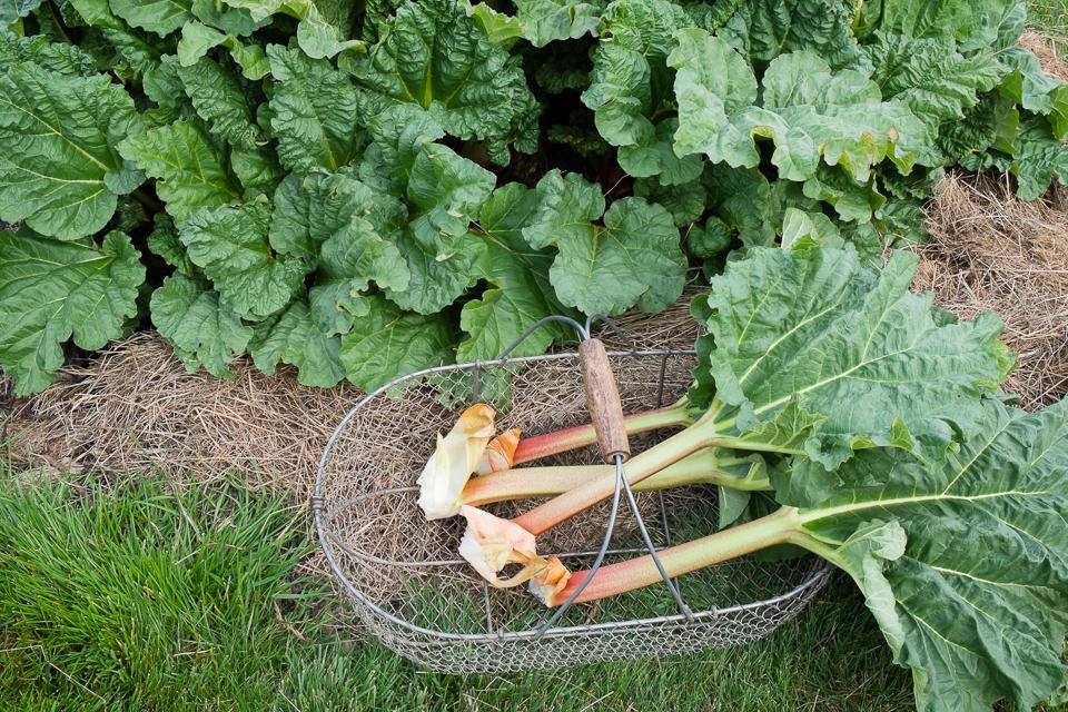 Rhubarb growing