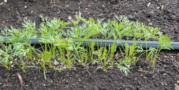 Carrots growing 1