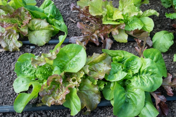 Lettuce mix big row