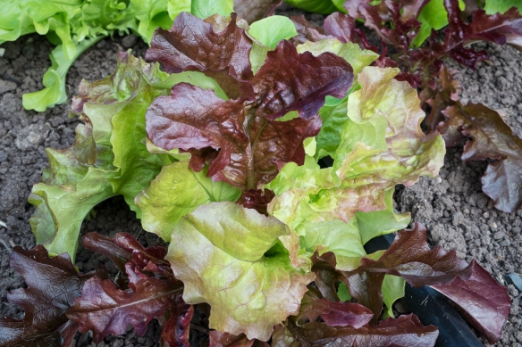 Lettuce mix close-up 2