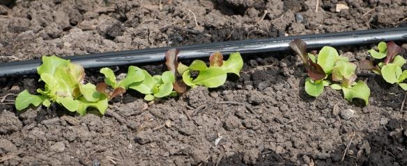 Lettuce mix small row