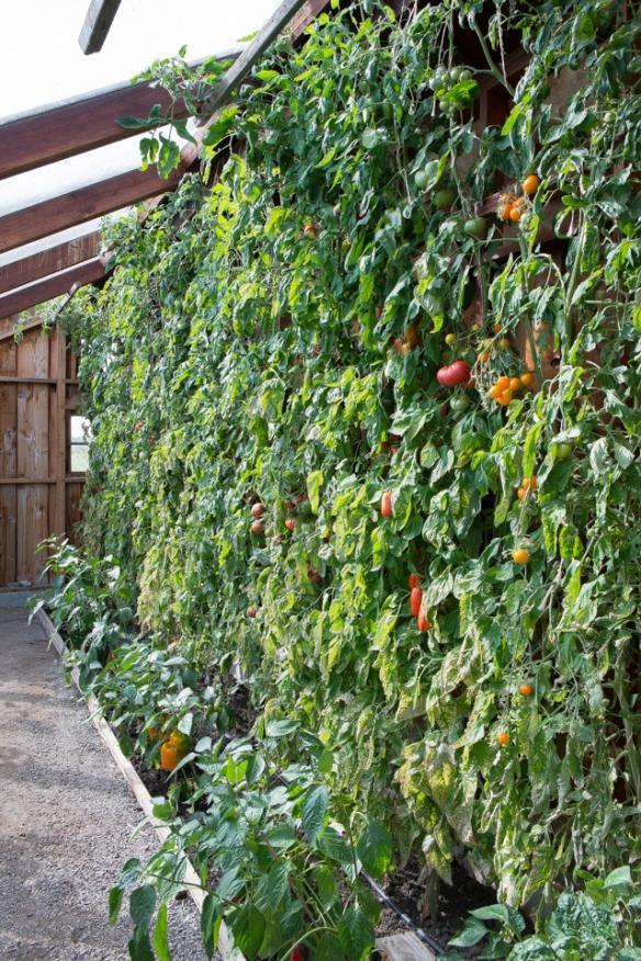 Tomato wall'13