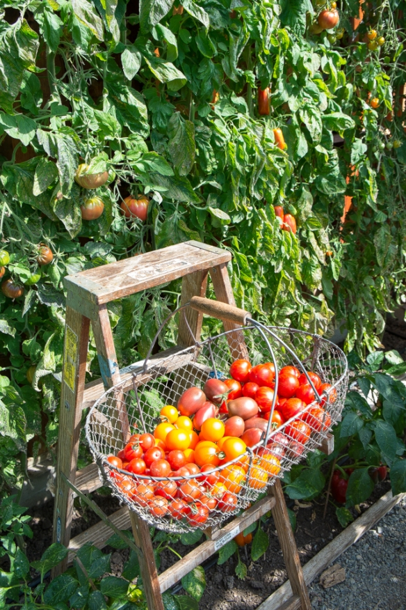 Tomatoes in basket on ladder