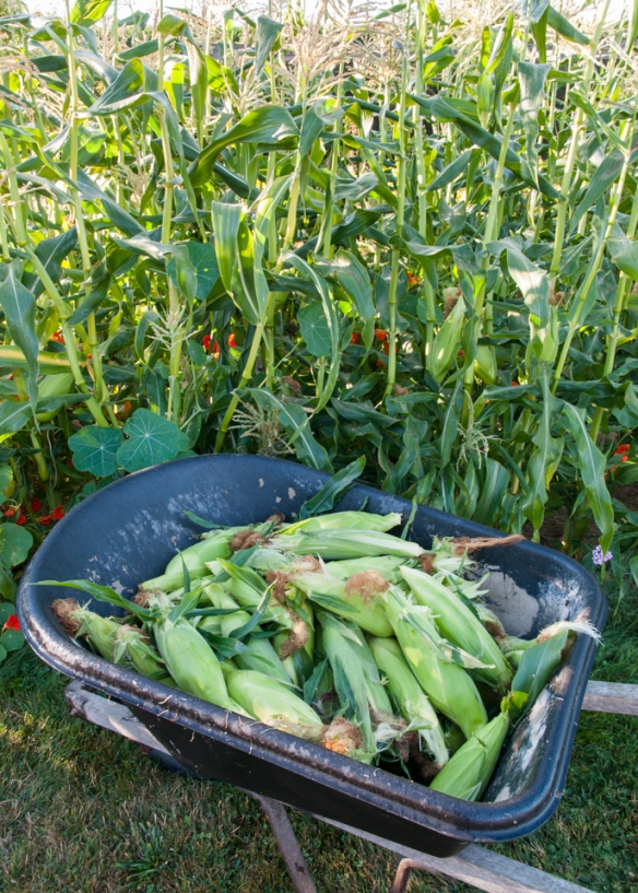 Corn harvest wheelbarrow