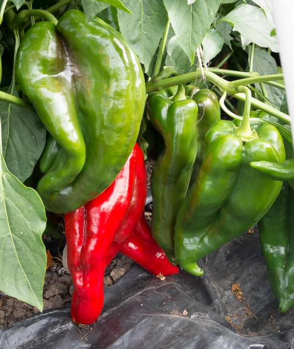 Pepper Ancho mag green