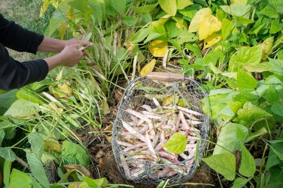 Shell beans harvesting