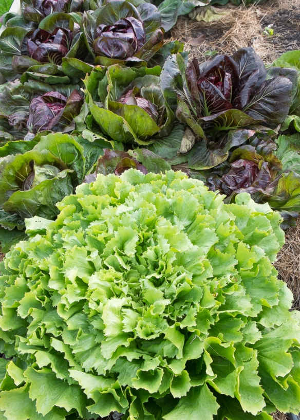 Radicchio and Escarole in garden