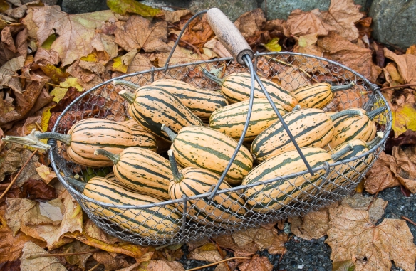 Delicata squash in basket