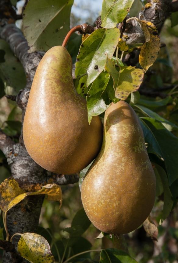 Pear closeup Conference
