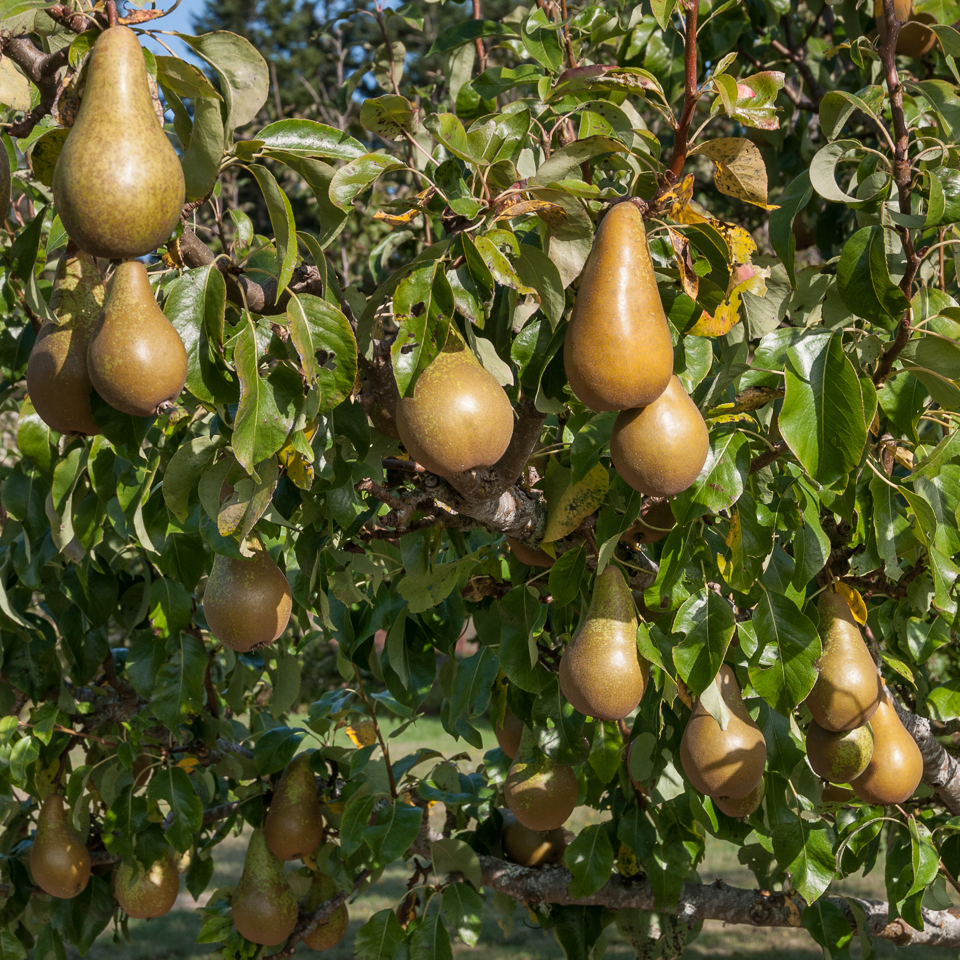 conference pear recipes lopez island kitchen gardens