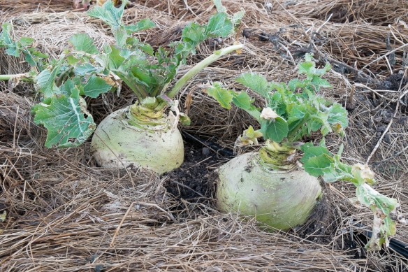 Gilfeather turnips growing