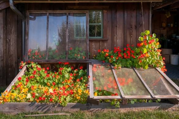 Cold frame with nasturtiums