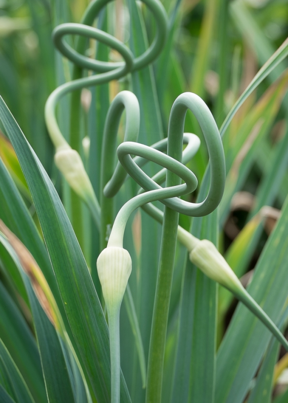 Garlic scape group