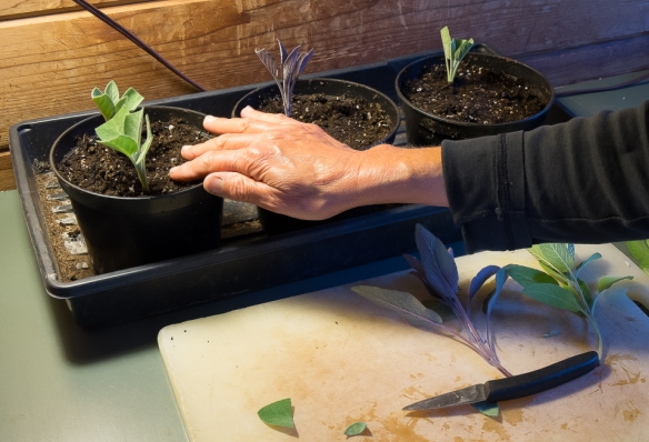 Sage cutting firming in pot
