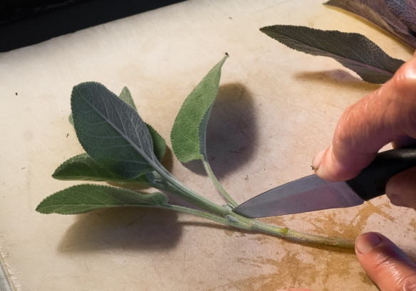 Sage cuttings removing leaves
