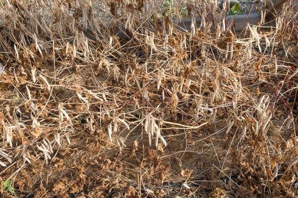 Beans dry bush closeup