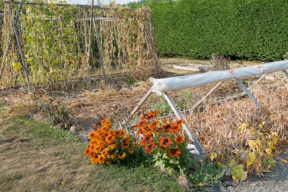 Beans dry bush pole