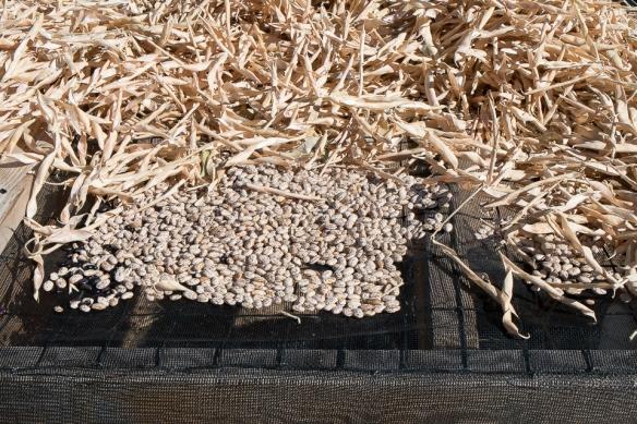 HBG beans drying