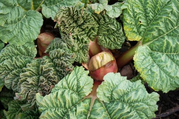 Rhubarb new growth