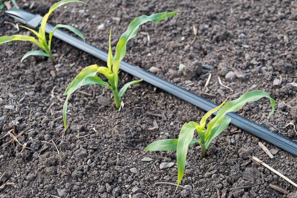 Beans Planted With Corn Corn Seedlings Bean Seedlings