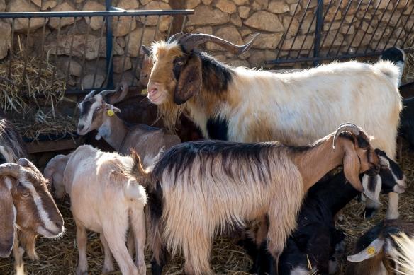 GWW goats