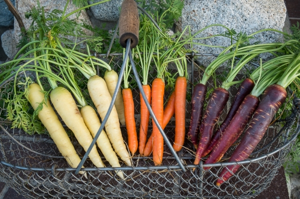 Carrots, colored, in basket