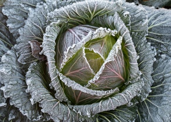 Cabbage JK frosted