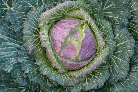 Cabbage JK post frost