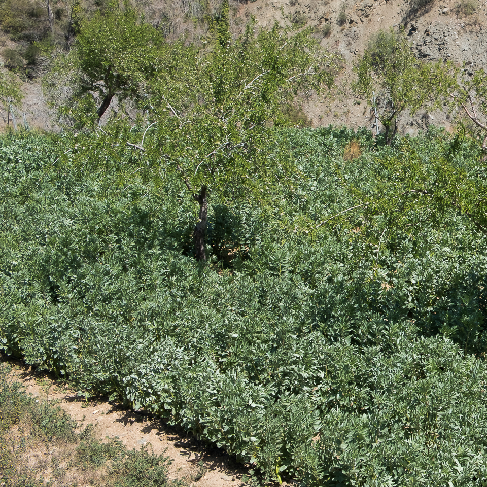 Favas growing in Andalusia