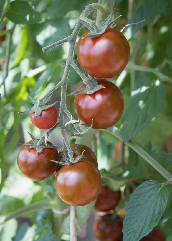 tomato-sunchocola