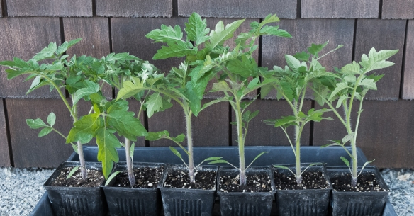 tomato-seedlings-sturdy-tall