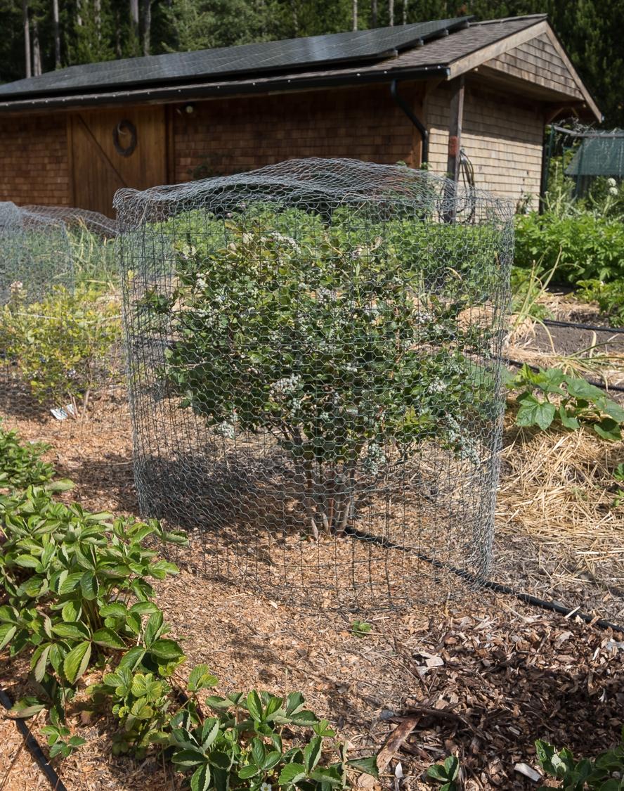 Karp blueberries