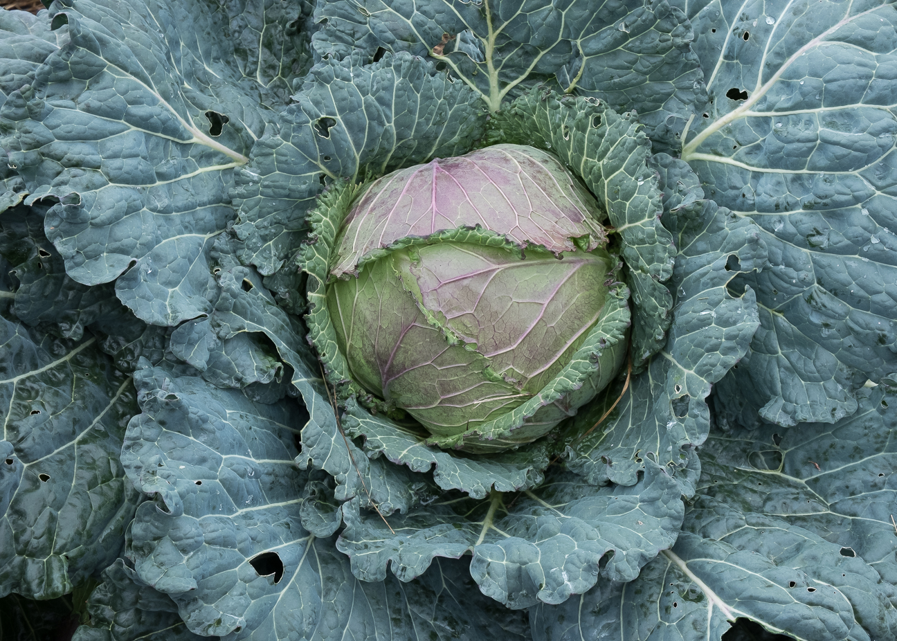 Cabbage JK 12:18