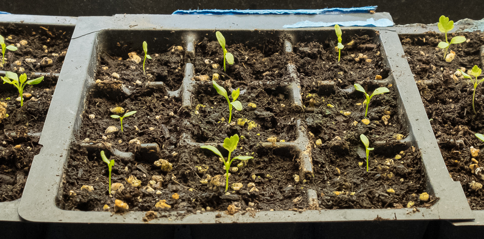 Celery root starts 5:31