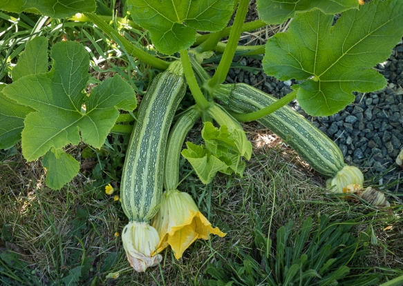 Zucchini growing 2020